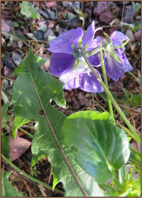Le reste des feuilles dans mon lilas blanc...