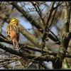 Oiseau Bruant Jaune.jpg