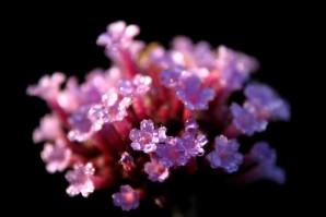 Verbena-bonariensis.jpg