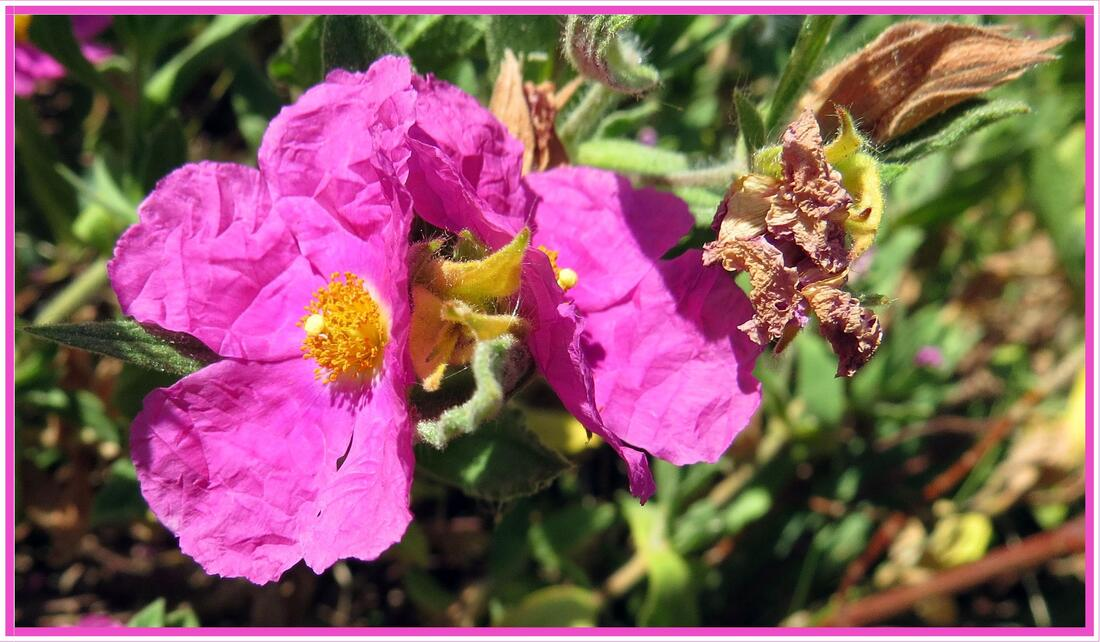 Fleurs de cistus pulverulentus