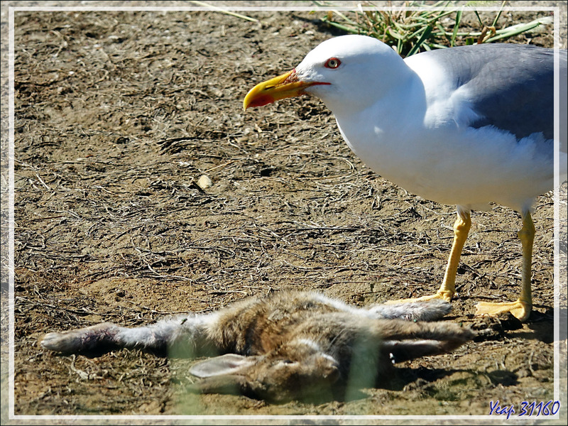 Le Goéland leucophée et le lapin mort, the Yellow-legged Gull and the dead rabbit (Larus michahellis) - Ars-en-Ré - Île de Ré - 17