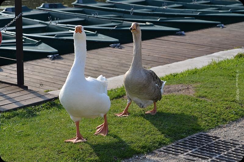 Rambouillet : Mes amies les oies