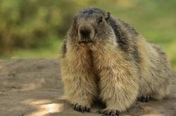 Spécial Marmottes