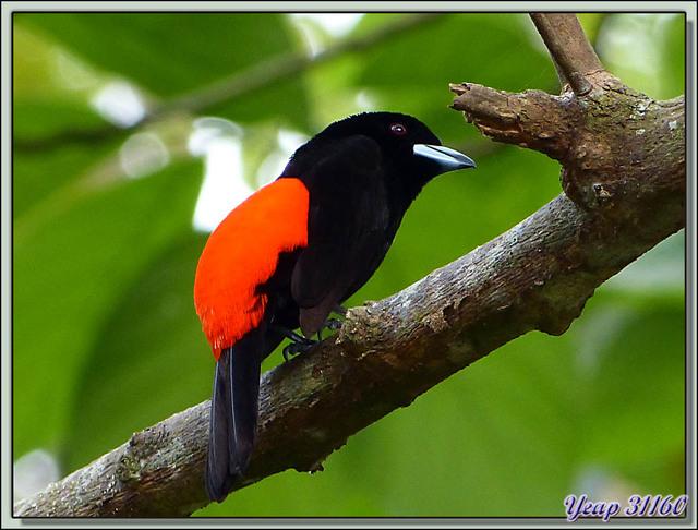 Blog de images-du-pays-des-ours : Images du Pays des Ours (et d'ailleurs ...), Tangara à croupion rouge (Ramphocelus passerinii) - Refuge Hacienda Barù - Dominical - Costa Rica