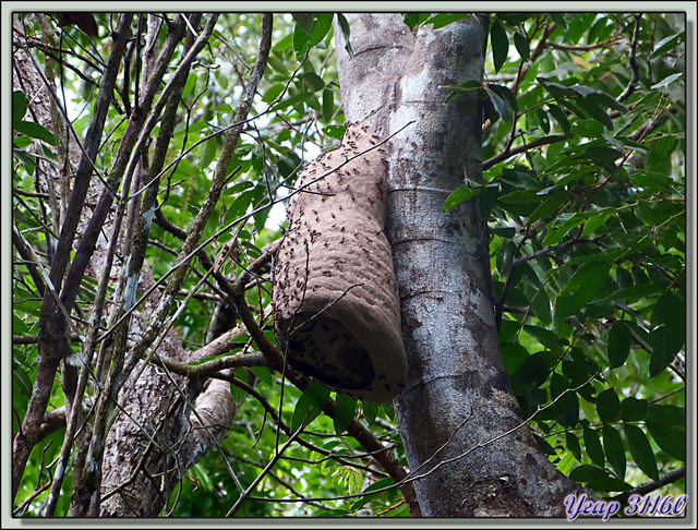 Blog de images-du-pays-des-ours : Images du Pays des Ours (et d'ailleurs ...), Guêpier dans la mangrove - La Palma - Puerto Jiménez - Costa Rica
