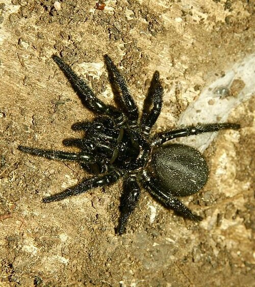 Dix araignées venimeuses
