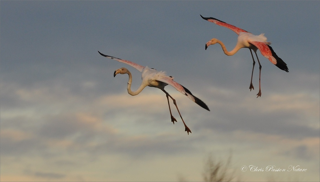 Flamants rose en phase d'atterrissage