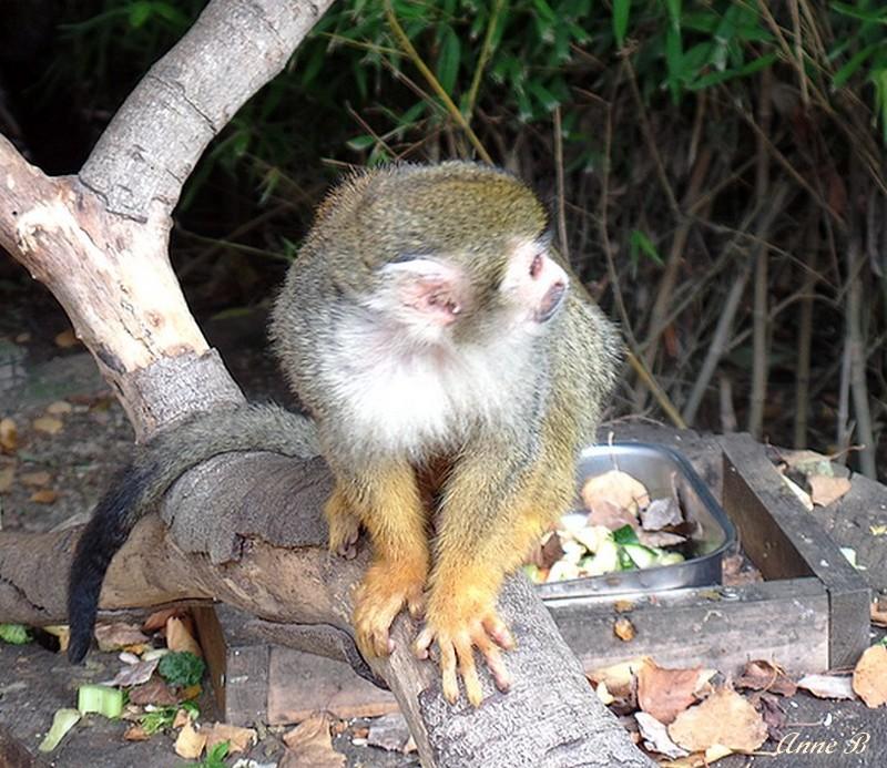 Petits singes voleurs et très subtiles