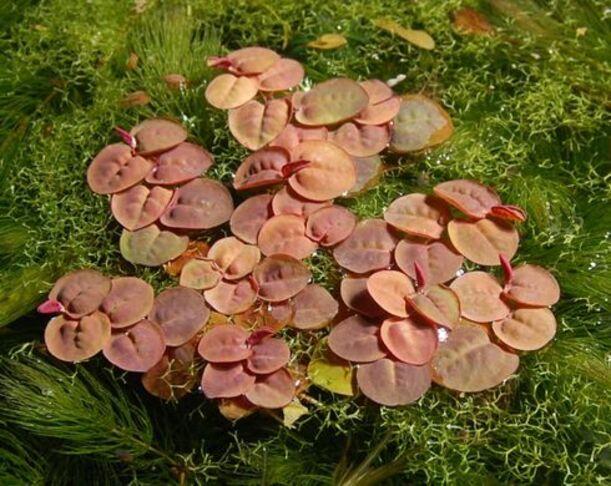 Phyllanthus flottant