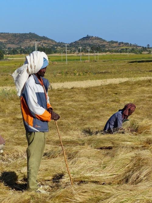 le dur travail des champs