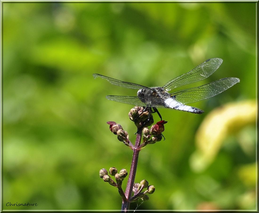libellule fauve