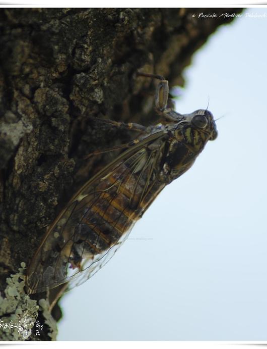 Cigale plébeienne ♂ - Lyriste plebejus