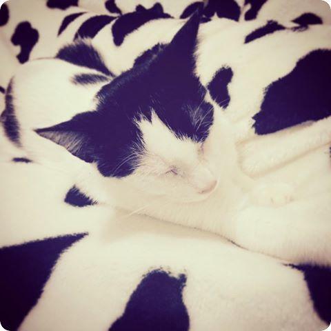 chat camoufage noir et blanc
