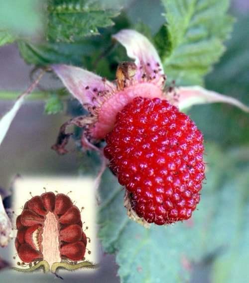 Vertus médicinles des plantes sauvages : Framboisier sauvage