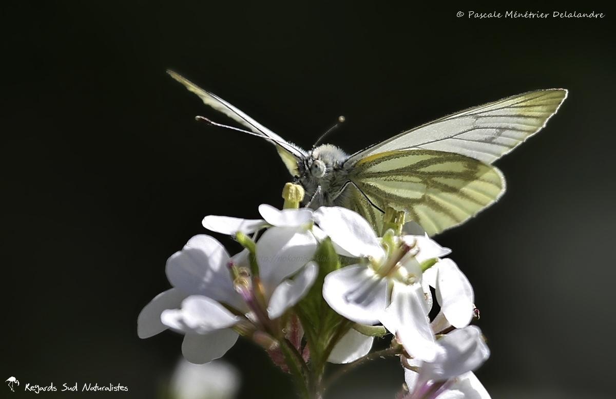 Piéride du navet (Pieris napi) - Pieridae