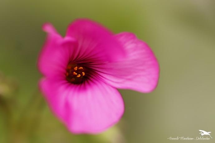 Oxalis deppei (famille des trèfles) - Oxalidacées (Oxalidaceae)
