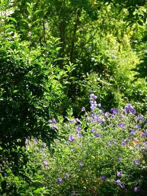 les beaux géraniums vivaces