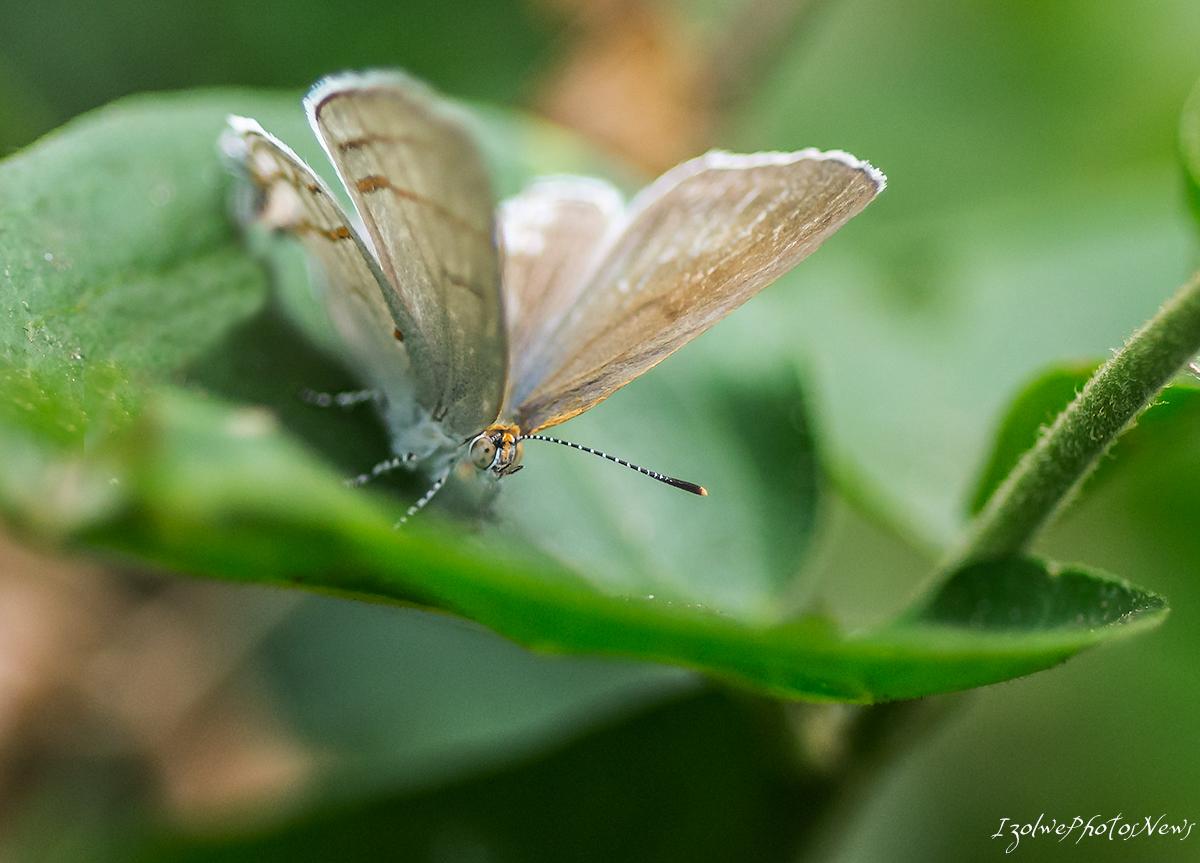 Papillon (macro)
