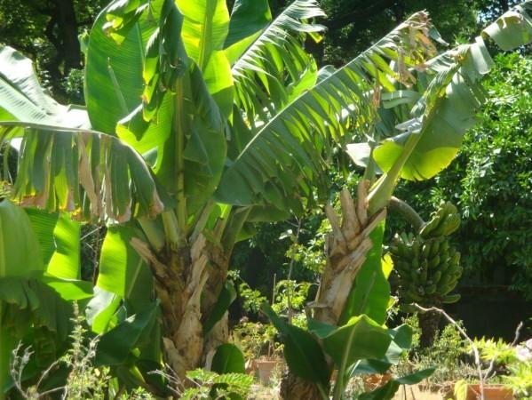 Palerme, Jardin botanique, bananier