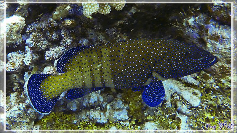 Mérou paon ou Mérou céleste ou Vieille cuisinière, Peacock hind or Peacock grouper (Cephalopholis argus) -  Passe sud Tumakohua - Atoll de Fakarava - Tuamotu - Polynésie française