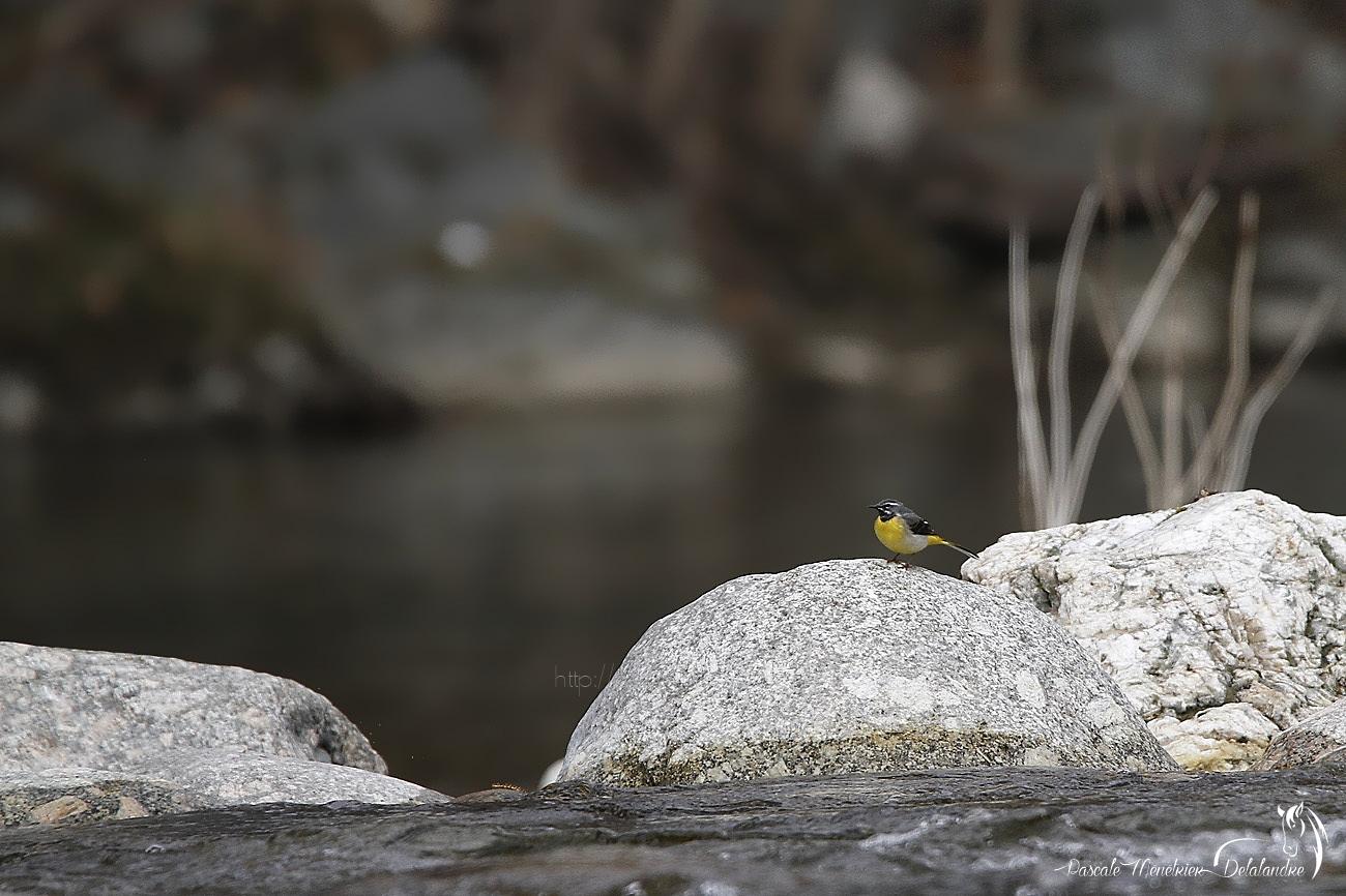 Bergeronnette des ruisseaux dans son environnement