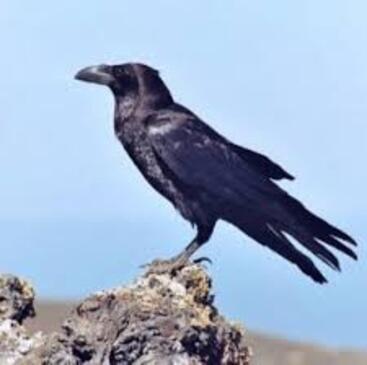 Forte expérience: corbeau et symbole islandais