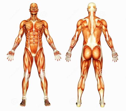 L'Anatomie