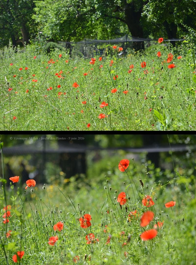 Jardin des Plantes de Paris : Jolis coquelicots (Jardin écologique)