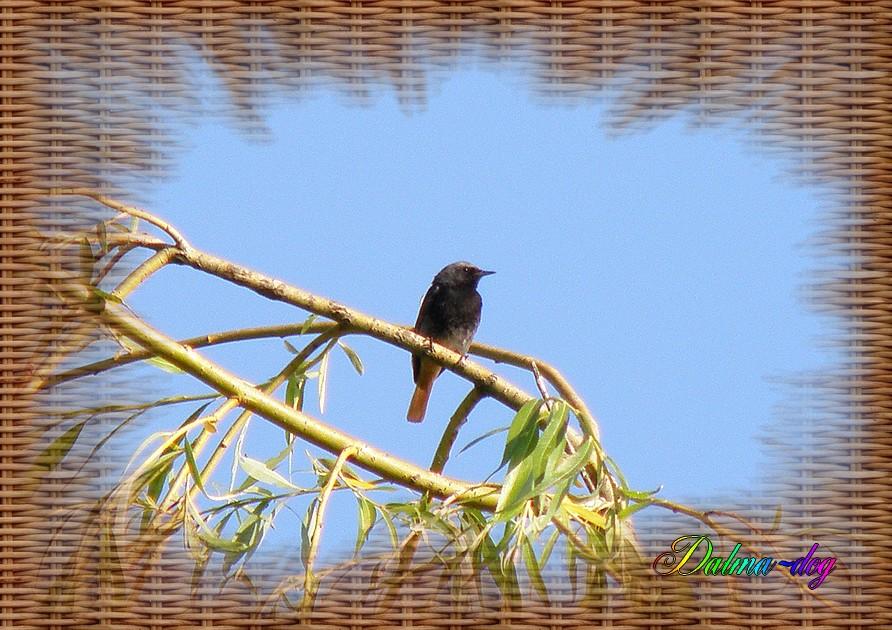 rougequeue noir
