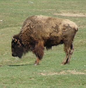bison__2_