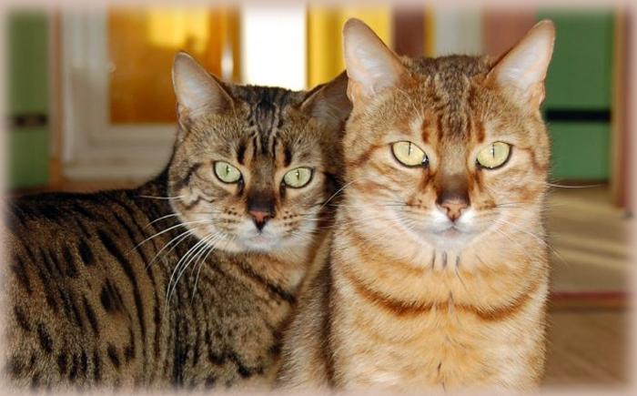 chats-de-race-bengal-001