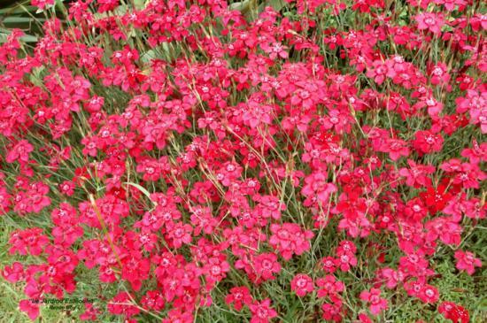 Plante tapissante persistant phlox les plantes for Plante tapissante vivace