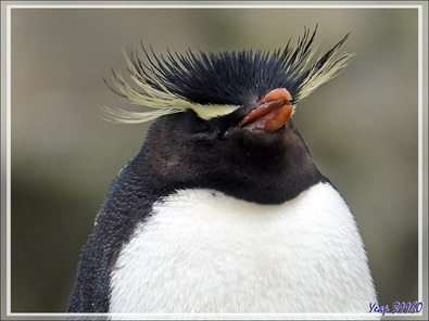 Gorfous sauteurs, Southern Rockhopper Penguin (Eudyptes chrysocome) - Coffin's Harbour - New Island - Falkland (Malouines, Malvinas) - Grande-Bretagne