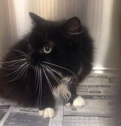 Un chat âgé de 18 ans est abandonné devant un refuge