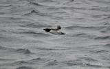Pingouin torda - p145