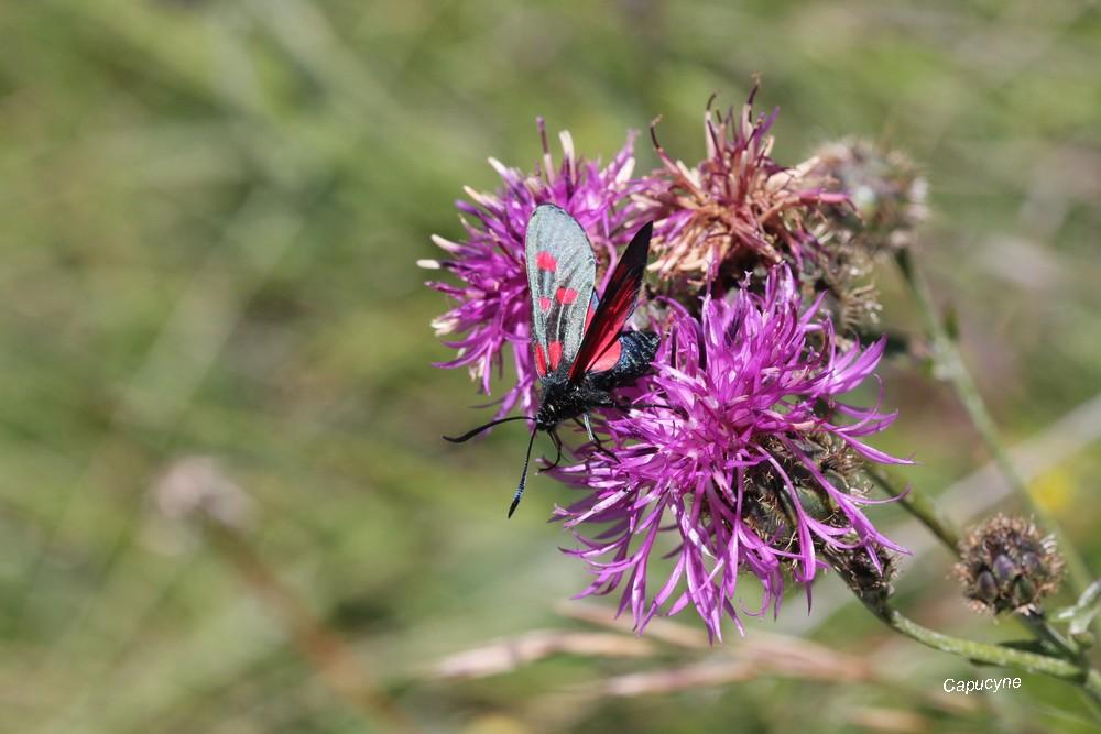 Juillet dans la Champsaur -2 - la folie papillonnante