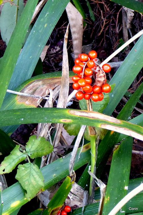 L'iris fétide et ses graines