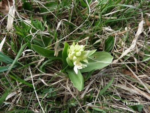Orchis sureau (8)