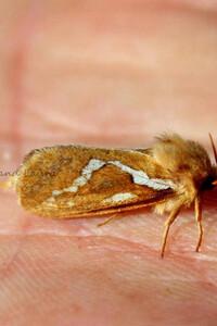 L'Hépatique ou La Patte-en-Masse ou Phymatopus Hecta