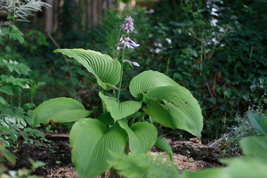 hosta Green Acre