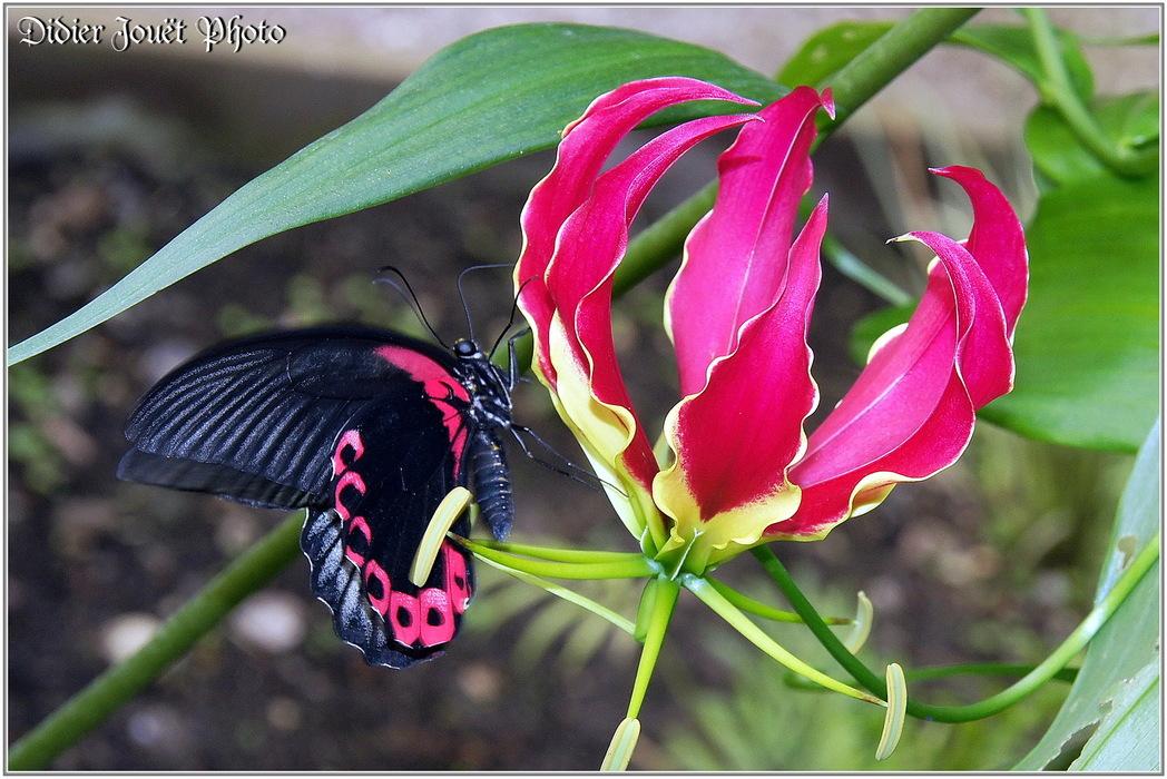Mormon Ecarlate / Papilio rumanzovia