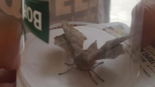 Wolu1200 : Sarah a découvert ce grand papillon de nuit