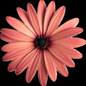 Fleur marguerite , gerbéra / 2