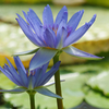 Fleur bleue de grand Nénuphar.jpg