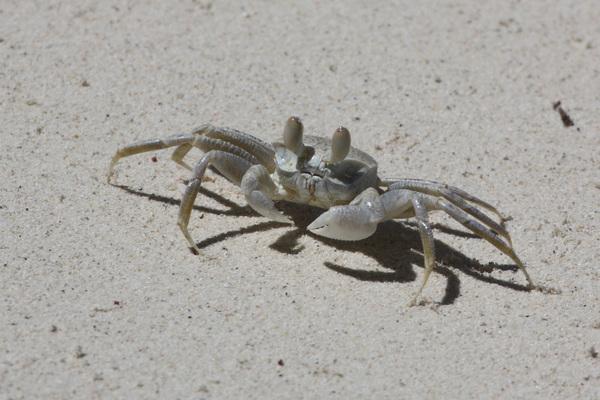 Crabe - Praslin