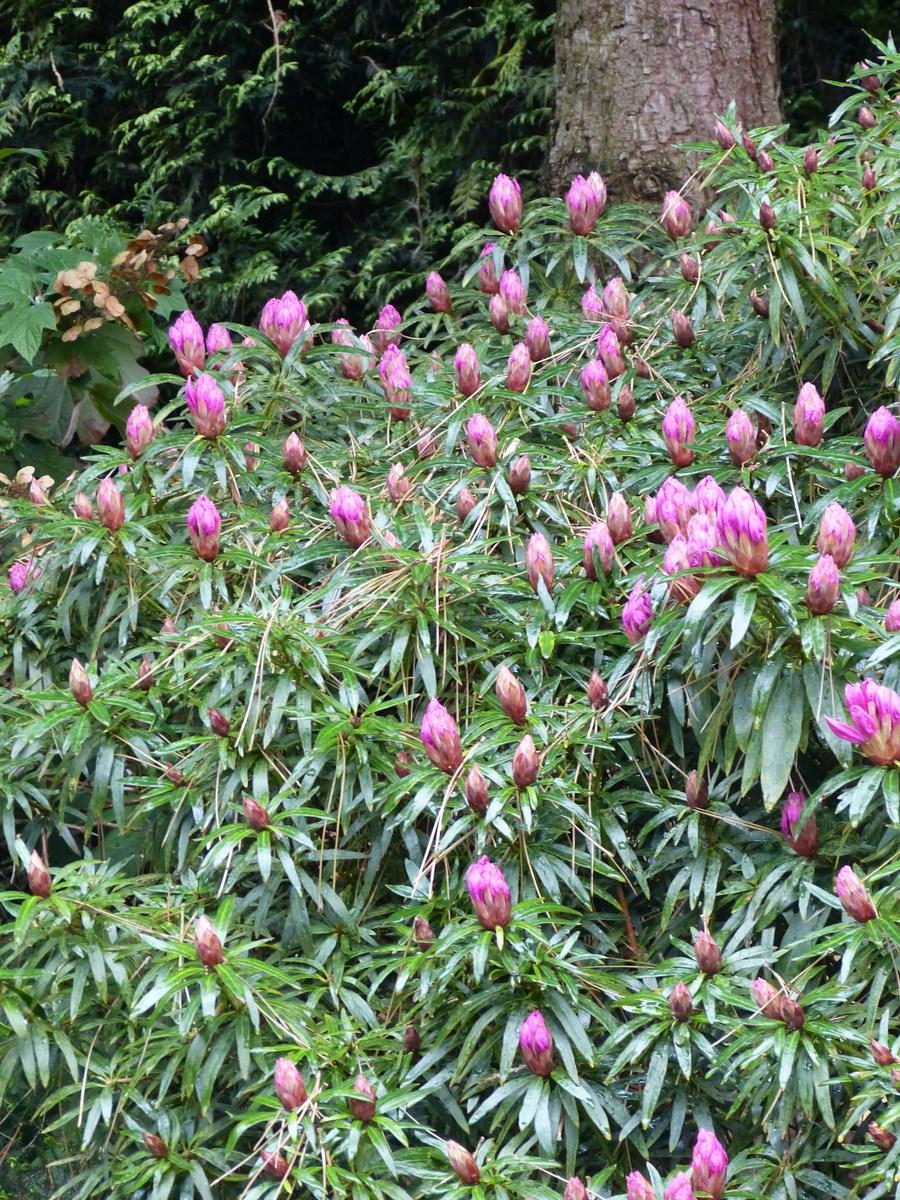 Rhododendron graziella - Rhododendron ne fleurit pas ...