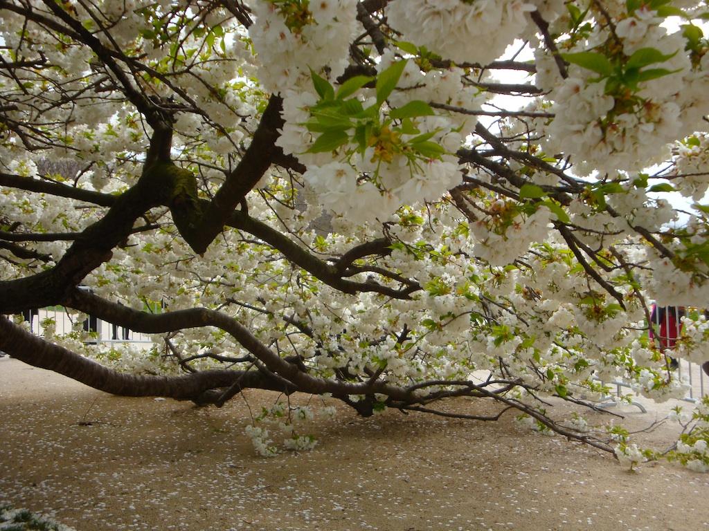 Eph m re magnificence du cerisier du japon du jardin des for Plante ornementale des jardins