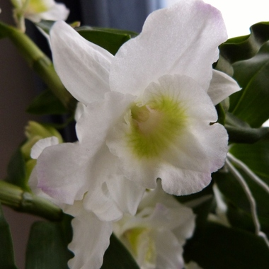 Le Dendrobium Nobile, une orchidée facile à vivre...