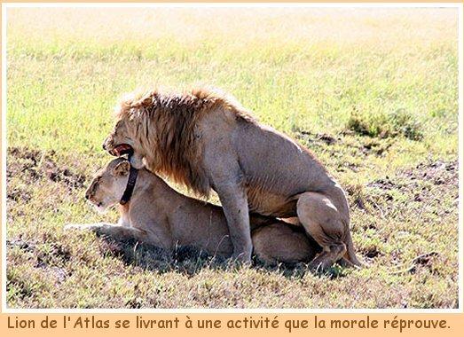 Blog de lesscorpionsdeouarzazate : Les Scorpions de Ouarzazate, Le lion de l'Atlas