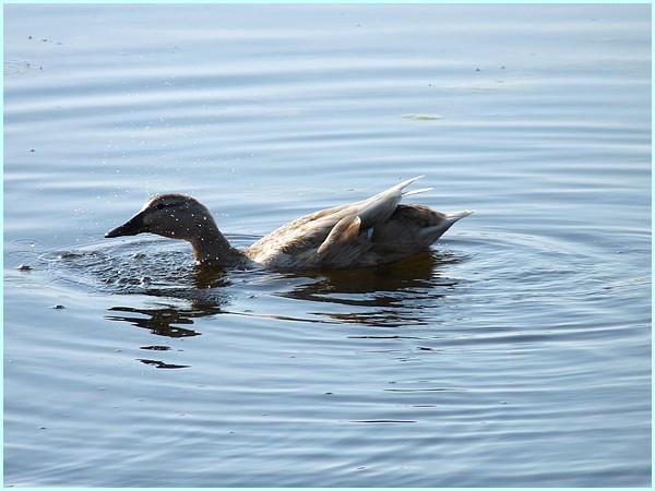 Paroles de canards
